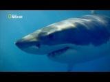Анатомия крупных животных: Большая Белая Акула